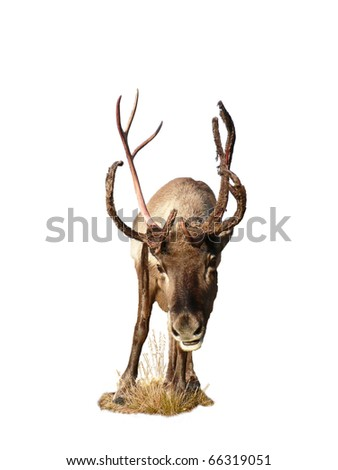 Reindeer on a small tuft staring at you isolated from background