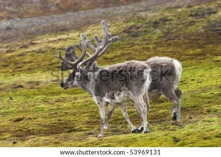 Reindeer on tundra - stock photo