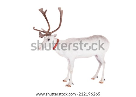 Reindeer or caribou, on the white background - stock photo