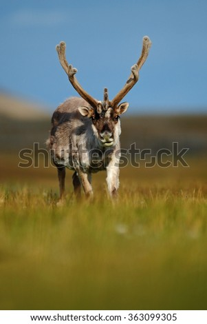 Reindeer, Rangifer tarandus, with massive antlers in the green grass, blue sky, Svalbard, Norway - stock photo
