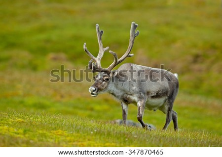 Reindeer, Rangifer tarandus, with massive antlers in the green grass, Svalbard, Norway - stock photo