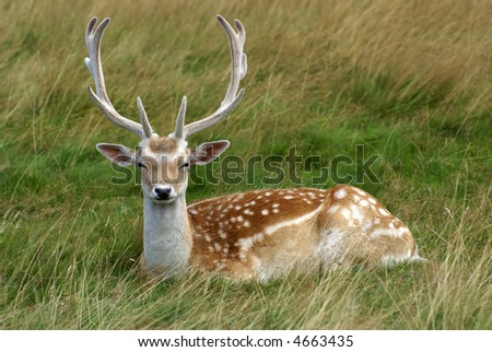Reindeer Sitting Down At Rest In Long Grass - stock photo