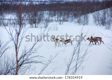 Reindeer standing in the snow. Winter forest in Norway. - stock photo