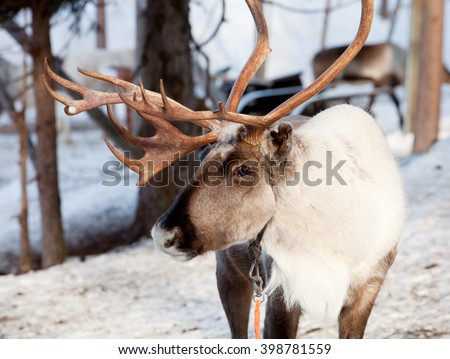 Reindeer with big antlers in Lapland of Finland - stock photo