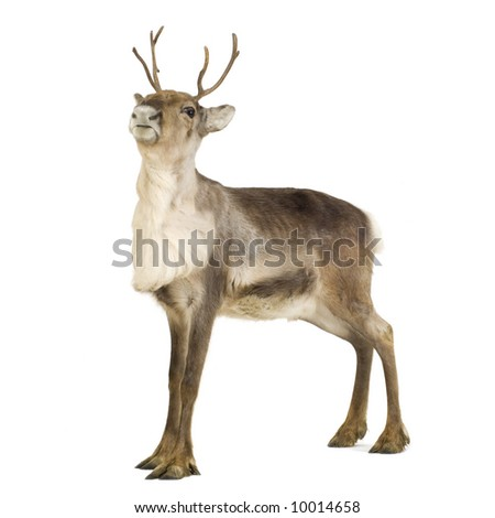 reindeer (2 years) in front of a white background - stock photo