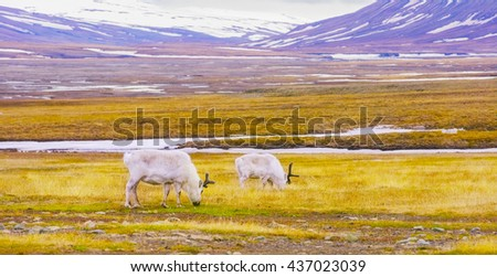 Reindeers eats grass at the plains of Svalbard - stock photo