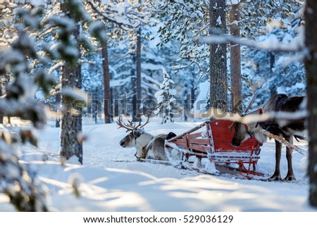 Reindeers in a winter forest in Finnish Lapland