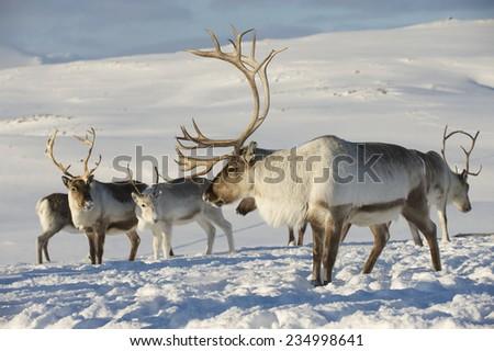 Reindeers in natural environment, Tromso region, Northern Norway - stock photo