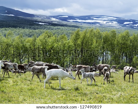 reindeers on the meadow  near a forest and lake in Scandinavia - stock photo