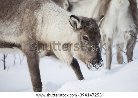 Reinsdeer in the winter.Natural environment.Norway.