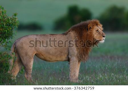 Rekero Lion early in the morning in Masai Mara, Kenya - stock photo