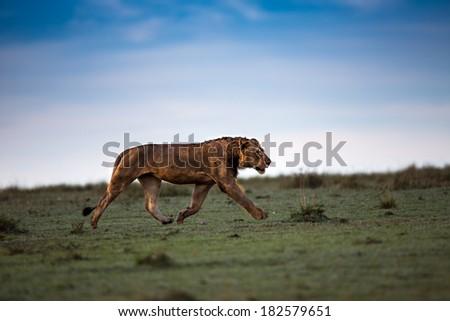 Rekero Pride Lion running early in the morning in Masai Mara, Kenya - stock photo