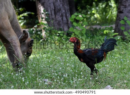 relationship between chicken and buffalo
