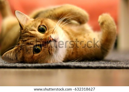 Relaxed Cat Looking Camera Golden Shaded Stock Photo ...