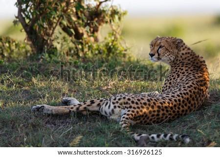 Relaxed Cheetah in Masai Mara, Kenya - stock photo