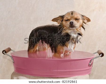 Relaxed chihuahua puppy taking a bath standing in pink bathtub - stock photo