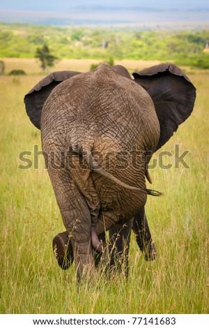Relaxed elephant waiting for a friends, Masai Mara, Kenya - stock photo