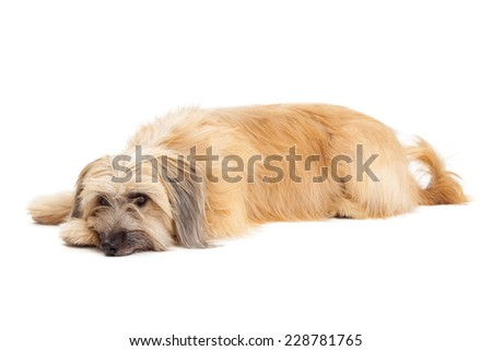 Relaxed Pyrenean Shepherd Dog laying with head on front paw.