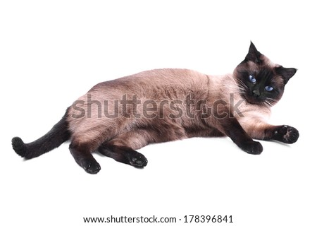 relaxed siamese cat lying on side - stock photo