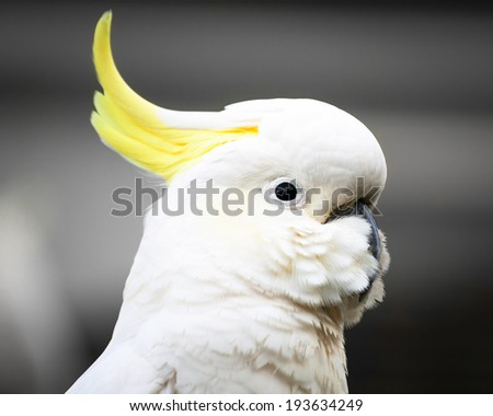 Relaxed Sulphur-crested Cockatoo (Cacatua galerita) head with crest down against grey background