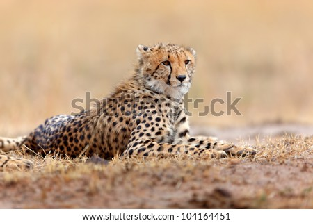 Relaxed young Cheetah watching the savannah, Masai Mara, Kenya - stock photo
