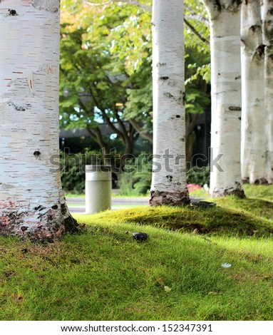 Relaxing Birch Trees in Park