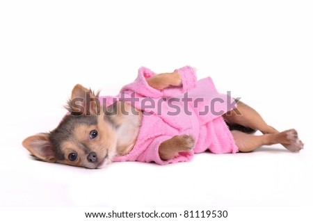 Relaxing chihuahua puppy after the bath wearing bathrobe and slippers, isolated on white background - stock photo