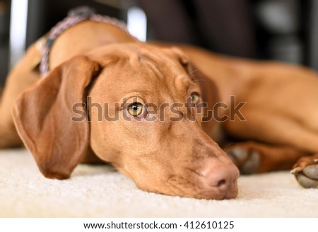 Relaxing dog on a white carpet. Young Viszla lying on the floor with view to the camera.