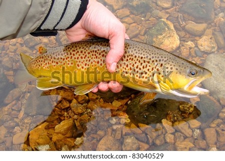 Releasing a Brown Trout caught on the White River of Arkansas - stock photo