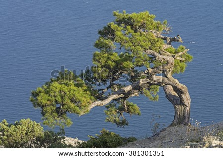 Relict pine on the background of the sea. Crimea.