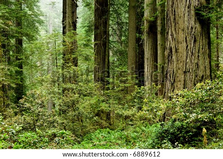 Relict sequoia trees in Redwood Natioal park, northern California - stock photo