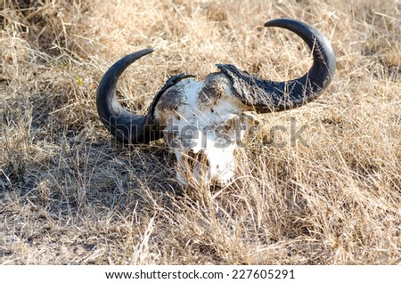 Remains of a buffalo carcass in Kruger Park South Africa - stock photo