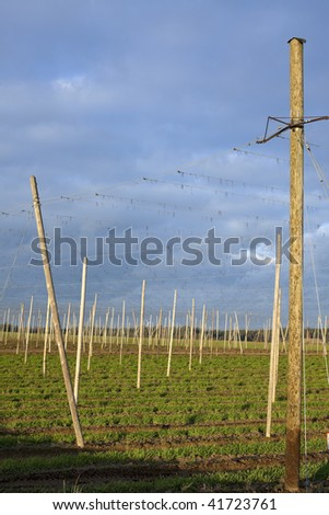 remains of a hop field after the harvest