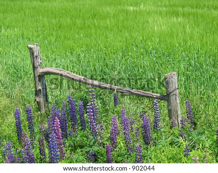 Remanets of a farm fence surrounded by flowering lupins