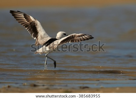 Remarkable black and white wader bird  Dromas ardeola, Crab Plover with outstretched wings in shallow water on sand beach of Zanzibar island during migratory winter season. - stock photo