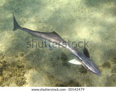 Remora fish - stock photo