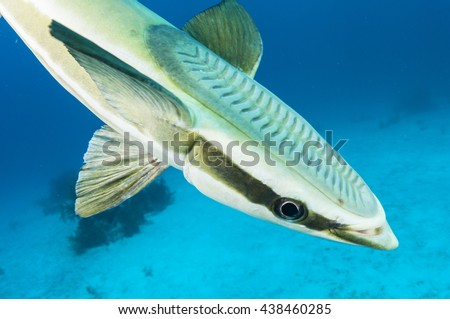 Remora fish up close  - stock photo