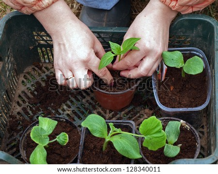 Replanting young vegetable seedlings to separate pots, on spring - stock photo