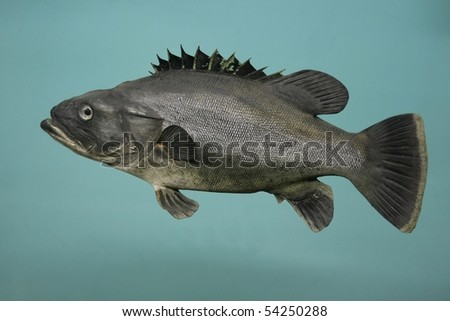 Replica of a Stonebass fish with exact details - stock photo