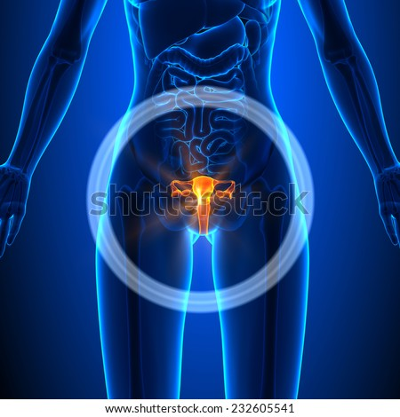 Reproductive system - Female Organs - Human Anatomy - stock photo