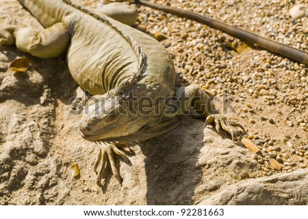 Reptile animal , green iguana lizard - stock photo