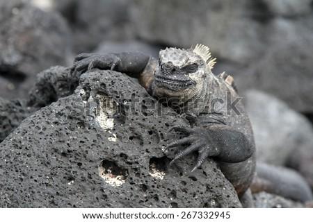 Reptile, Marine iguana, Galapagos islands, Endemic animal, mimicry, mimesis, - stock photo