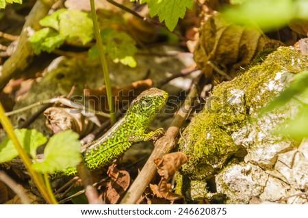 Reptile - Sand Lizard (Lacerta Agilis) - male - stock photo