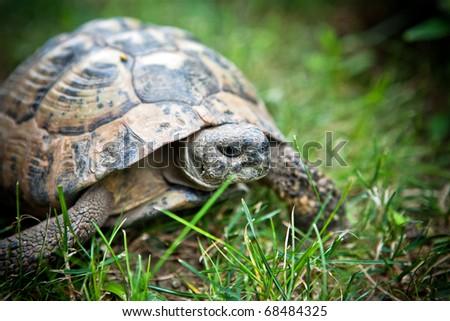 Reptile turtle captured in city Nesebr, Bulgaria - stock photo