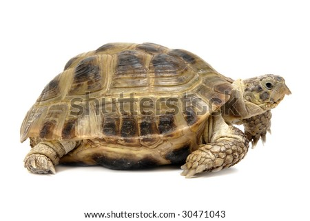 Reptile turtle, isolated object over white - stock photo