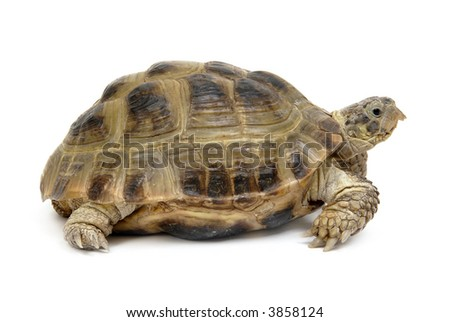 Reptile turtle, isolated object ower white - stock photo