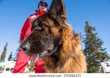 Rescue dog at Mountain Rescue Service at Bulgarian Red Cross is cheering during a training course, Vitosha mountains, Bulgaria, January 28, 2016. - stock photo