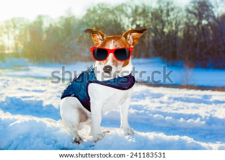rescue swiss dog with pullover outside in the winter wonder land