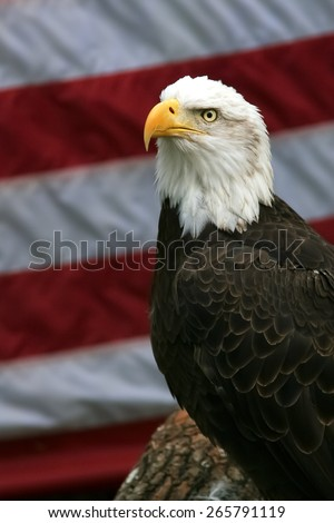 Rescued bald eagle posing in front of an American flag.  The background is real; it was not inserted digitally. - stock photo