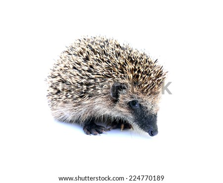 Resentful forest hedgehog sitting isolated on white background